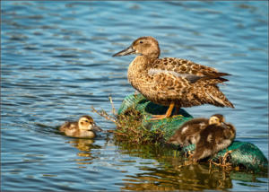 open - mother duck - Michele Hendry - 25