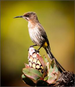 open - sugar bird - Chris Kinross - 28