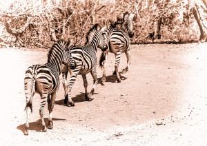 print - three zebras - Chris Kinross - 23