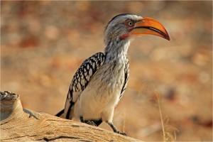 southern-yellowbilled-hornbill
